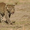 Female Leopard cub…