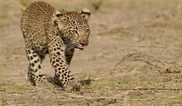 Female Leopard cub…