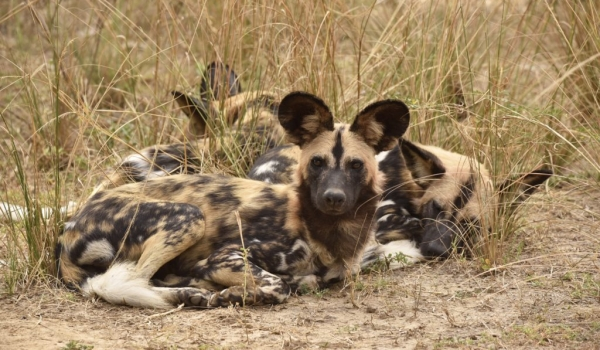 Wild Dogs resting & checking