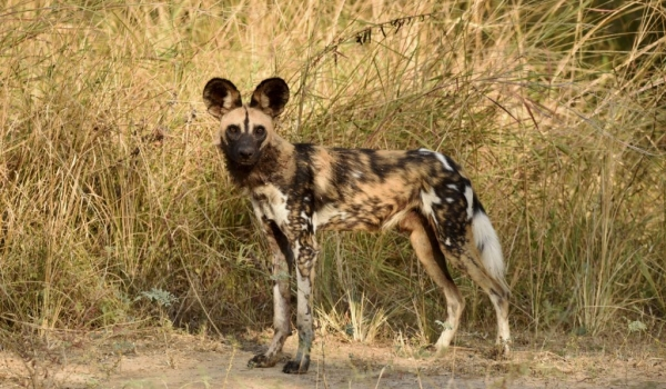 Wild Dog looking for prey