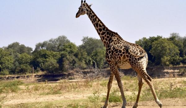 Thornicroft's Giraffe carrying…