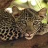 Female Leopard cub intrigued