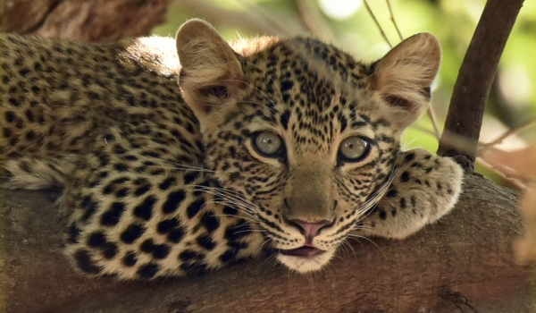 Female Leopard cub intrigued