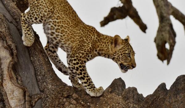 F. Leopard cub going down