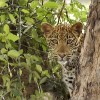 Male Leopard hidden…