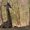 Giraffe sitting in the shadow