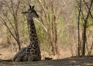 Giraffe sitting in the shadow