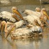White Pelican nest