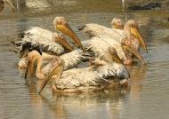 White Pelican nest