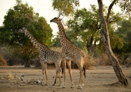 Thornicroft's Giraffes…