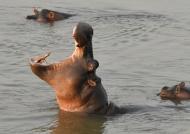 Hippo yawning at sunset…