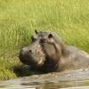 Hippo enjoying his pool
