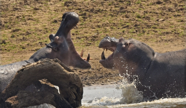Big male Hippos-confrontation