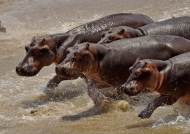 All Hippos flee to the strand
