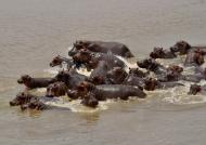Hippos disturbed facing…