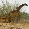 Impala invited by a Giraffe…