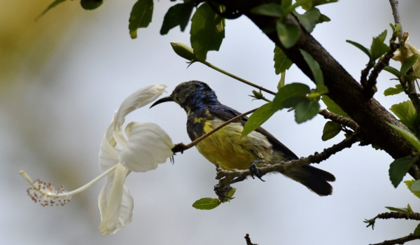 Variable Sunbird – m. – imm.