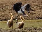 Marabous & Pelicans