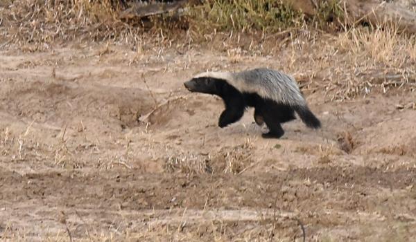 Honey Badger – juvenile