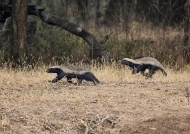 Honey Badger-mother & juv.