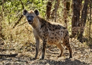 Spotted Hyena full up