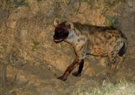 Spotted Hyena leaving a prey