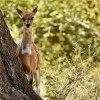 Bushbuck female…