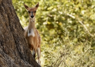 Bushbuck female…