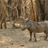 Warthog looking at me