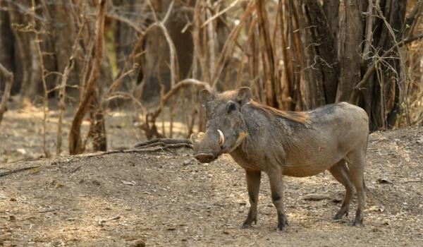 Warthog looking at me