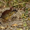 Four-toed Elephant Shrew