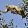 yellow baboon & baby – jump