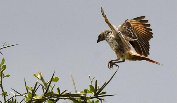 Rufous-tailed Weaver