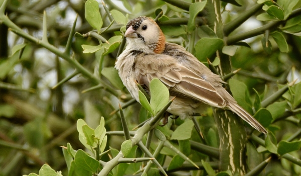 Speckle-fronted Weaver