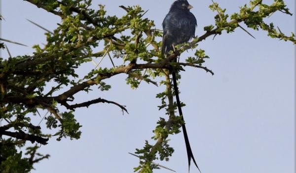 Steel-blue Whydah-br. male
