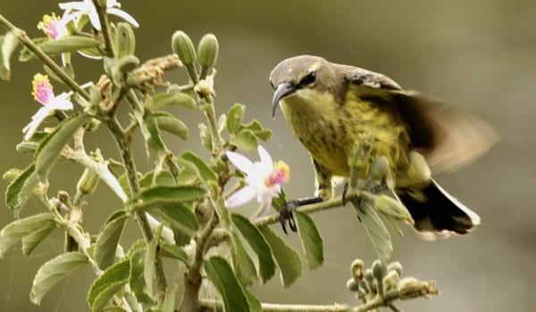Beautiful Sunbird – f.