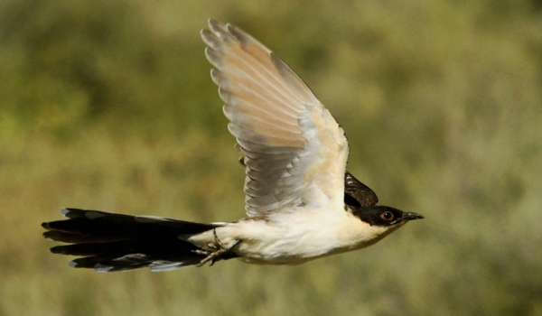 Great Spotted Cuckoo – juv.