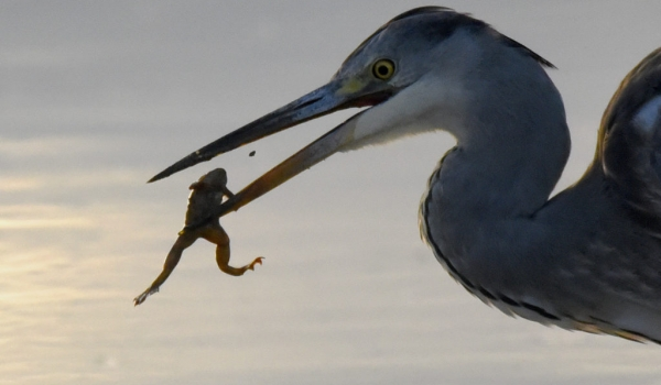 Grey Heron with a frog