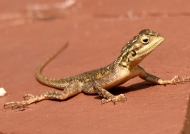 Brown and gray lizard