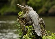 Slender-snouted Crocodile…