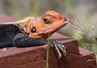 Common Agama Lizard