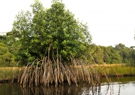 have a lot of mangroves