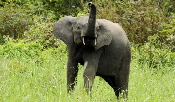 Elephant smelling at us.