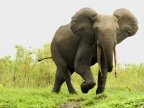 afr. forest elephant