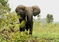 Female Forest Elephant.