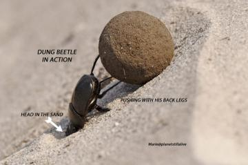 Gabon – Dung Beetle