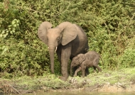 Forest Elephant F. with baby