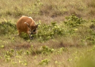 Red River Hog worried by us.