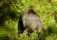 Silverback from behind.
