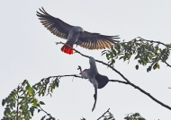 Grey Parrots first approach